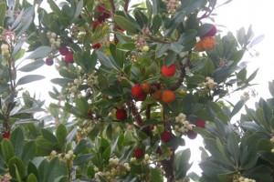 Medronhe-Früchte im Baum