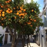 Üppig tragende Orangenbäume sind in den Städten keine Seltenheit