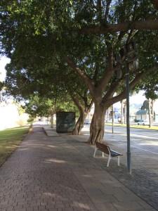 Uralte Riesenbäume säumen die großen Straßen