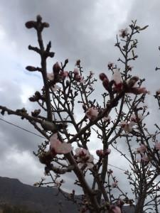 Die Obstbäume fangen an zu blühen