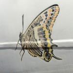 Auch dieser  Schmetterling fliegt nicht mehr
