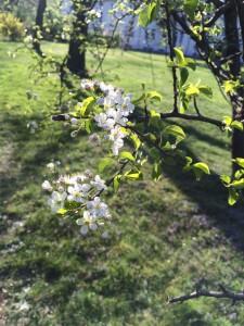 Baumblüte im Akaziengarten