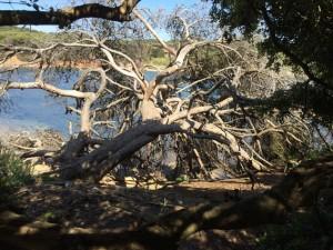 knorrige Bäume an einer der schönsten Buchten von Porquerolles