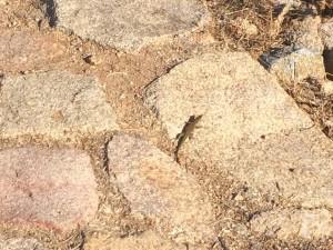 Die Geckos huschen in der Morgensonne über die Steine