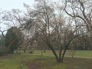 Hartnäckig bemühen sich die Blüten an den Bäumen im regnerischen Park
