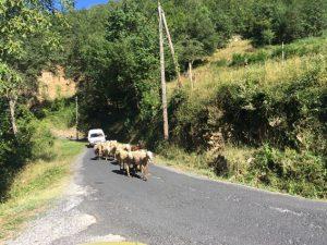 Hier laufen die Schafe …und die Autos fahren besser heim