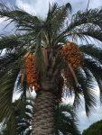 Palme mit Fruchtständen …